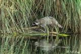 Raccoon   28