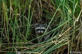 Raccoon   29