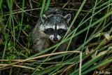Raccoon   30