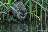 Raccoon   31