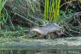 River  Otters  61