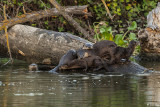 River  Otters  66