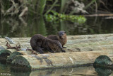 River  Otters  67