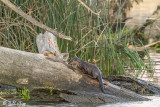 River  Otters  68