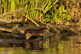 River  Otters  71