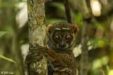 Eastern Woolly Lemur, Andasibe  1
