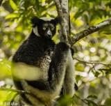 Indri, Andasibe  1