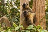 Common Brown Lemur, Andasibe  1