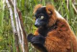 Red Ruffed Lemur, Andasibe  1