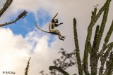 Verreaux's Sifaka, Spiny Forest,Mandrare River Camp  3