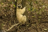 Verreaux's Sifaka, Spiny Forest, Mandrare River Camp  1