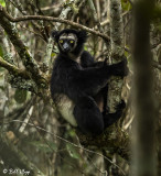 Black Indri, Saha Forest Camp  2
