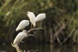 Cattle Egrets, Lake Tsarasoatra, Antananarivo  1