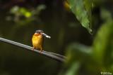 Malagasy Kingfisher, Lake Tsarasoatra, Antananarivo  2