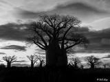 Baobab Trees, Mandrare Forest Lodge  1