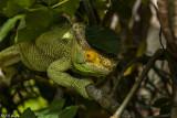 Parson's Chameleon  1