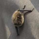Little Brown Bat Myotis Lucifugus