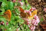 Aurelia butterflies