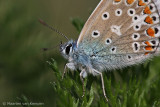 Common blue (Polymmatus icarus)