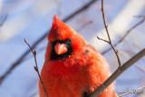 Cardinalidés