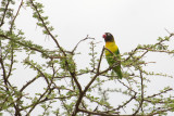 Inséparable masqué - Yellow-collared Lovebird