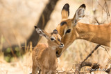 Impala et son nouveau-né