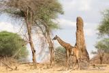 Certaines termitières sont plus grandes que les girafes