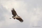 Marabout d'Afrique - Marabou Stork