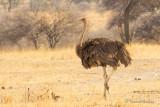 Autruche d'Afrique - Common Ostrich