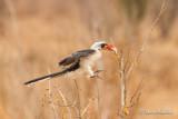 Calao de der Deckens - Von der Decken's Hornbill