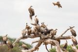 Aigle ravisseur contre Vautours africains