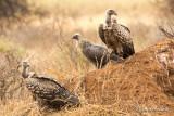 Vautour de Rüppell - Rüppell's Vulture