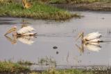 Pélican blanc - Great White Pelican