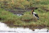 Jabiru d'Afrique - Saddle-billed Stork