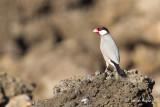 Padda de Java - Java Sparrow