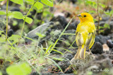 Serin du Mozambique   - Yellow-fronted Canary