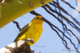 Sicale bouton-d'or - Safron Finch