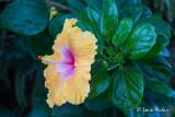 Hibiscus, fleur nationale d'Hawaii