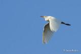 Héron garde-boeufs - Cattle Egret