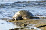 Tortue verte (honu en hawaien) - Green Sea Turtle