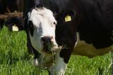 le coin vaches !