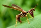 Brown Mantidfly - head