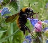 Golden bumblebee