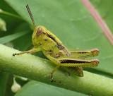 Young grasshopper