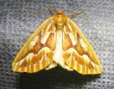 Northern Pine Looper - 6867 - Caripeta piniata