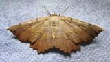 Euchlaena muzaria - 6725