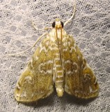 Elophila gyralis - 4751 - Waterlily Borer Moth