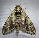 Ceratomia undulosa - 7787 - Waved Sphinx