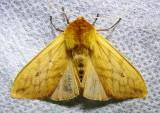 Pyrrharctia isabella - 8129 - Isabella Tiger Moth