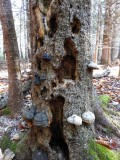 Old snag with Hoof  fungi